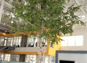 20' European White Birch Tree
