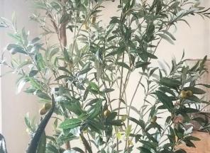 1_Olive-Tree