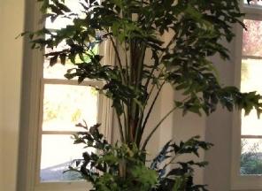 10' Fishtail Plam Tree