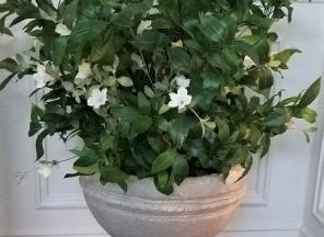 Wild-Petunia-Flowers